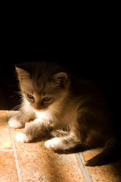 kitten, gray tabby  in the sun