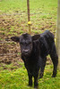 calf, Black Angus