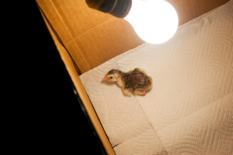 guinea keet in bulb-heated box