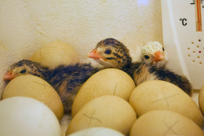 guinea keets in homemade incubator with guinea eggs and duck eggs