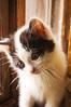 kitten, black and white long-hair