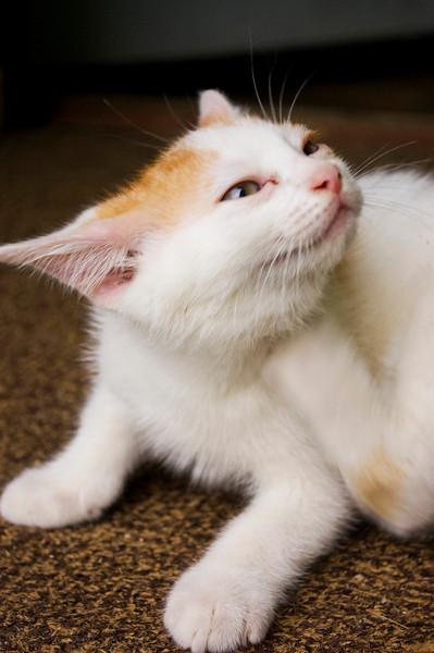 kitten, orange and white