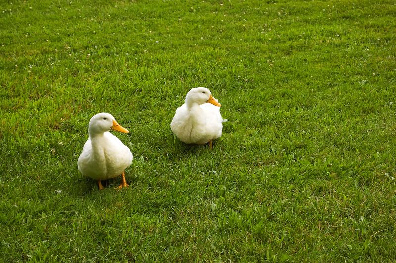 ducks, Pekin, on grass