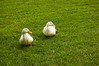 ducks, Pekin, on grass