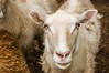 sheep, Dorset