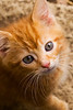 kitten, ginger, orange tabby