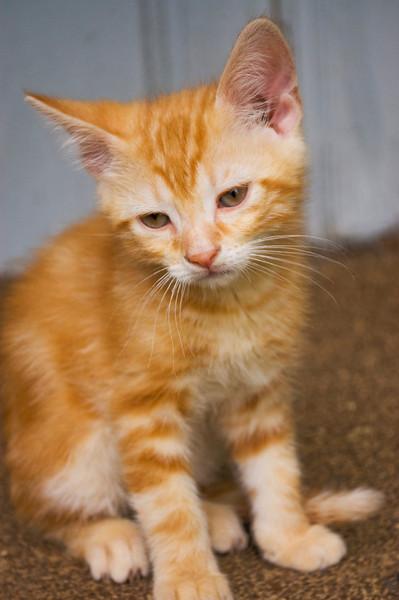 kitten, ginger, orange tabby