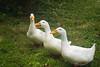 ducks, Pekin