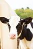 calf, Holstein