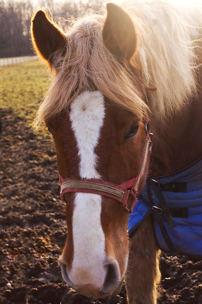 work horse, brown and white,  with halter
