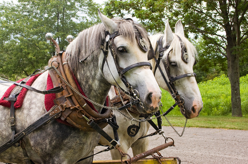 work horses, dapple gray,  in harness