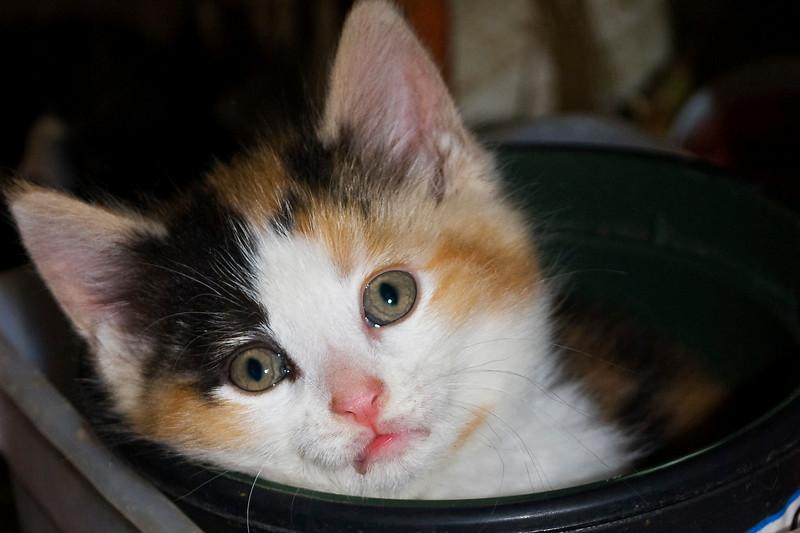 calico kitten in flower pot
