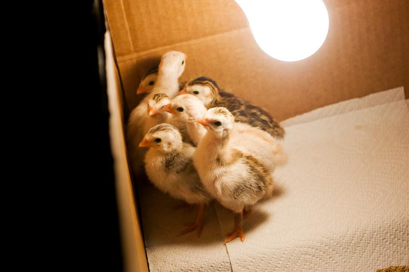 guinea keets in bulb-heated box