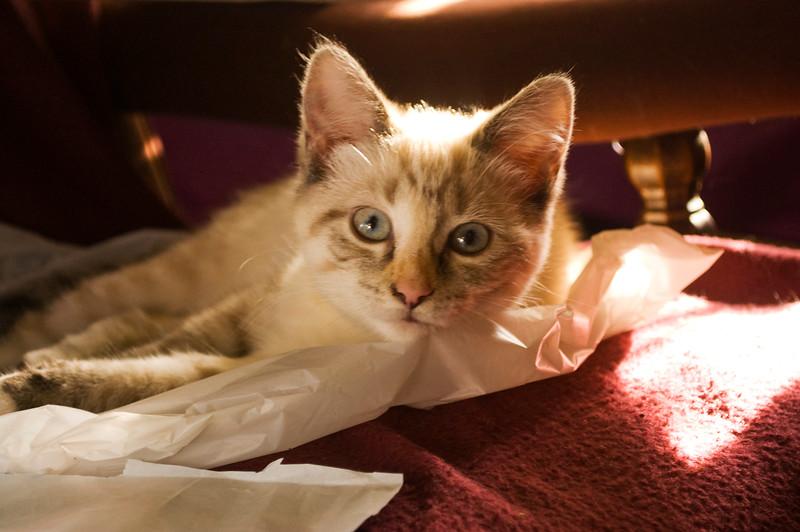 kitten, gray tabby  on paper