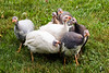 guineas, young,  just after being released