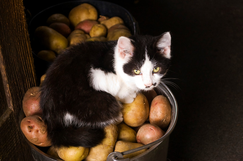 kitten, tuxedo type, black and white,  on potatoes