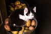 kitten, tuxedo type, black and white,  on potatoes