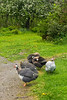 guineas free-ranging in spring