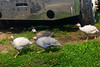 guineas, young,  free-ranging