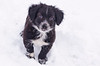 puppy,  black and white,  in snow