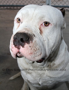 Homeless Pit Bull awaiting adoption at OC Animal Care. © Erin Suggett Photography