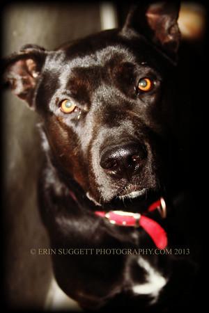 Homeless Pit Bull awaiting adoption at OC Animal Care. © Erin Suggett Photography
