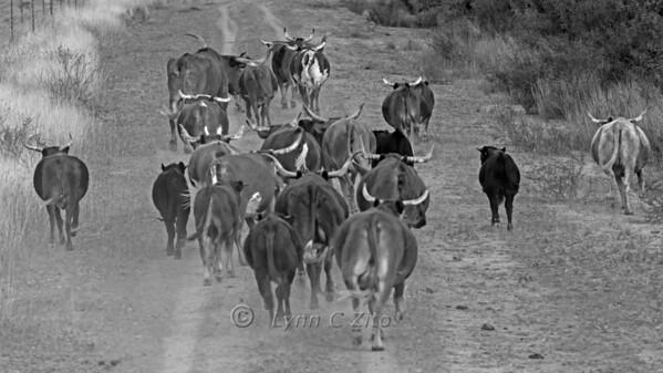 November 17, 2012  Rush Ranch  Longhorn Stampede