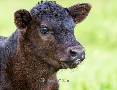 Calf Blowing a Bubble March 30, 2012