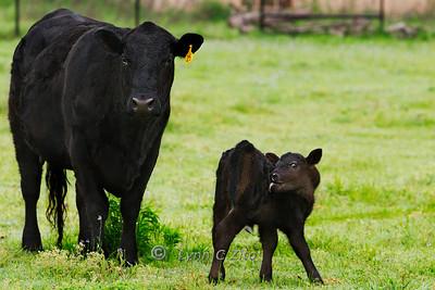 Calf & Mama March 29, 2012