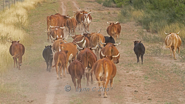 November 17, 2012 Rush Ranch Longhorn Stampede