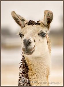 January 9, 2011 Llama