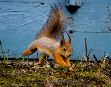 Squirrel - Orava
