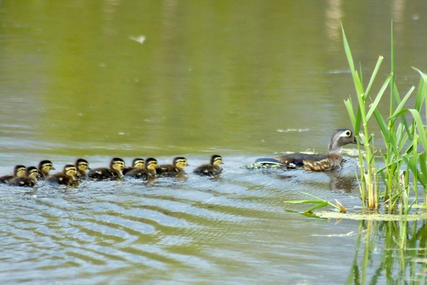 Ducks and Ducklings trailing behind.