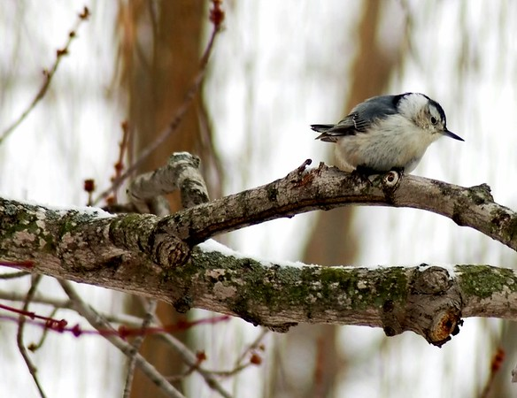Nuthatch perched on a tree branch
