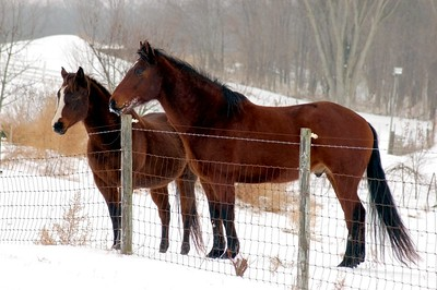 My Bay Horses in Snow