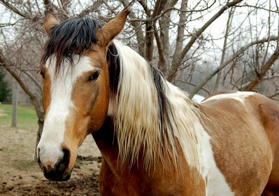 Tri-Colored Paint Horse Stallion