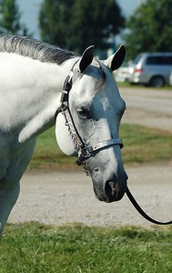 Grey horse with chain and halter on.