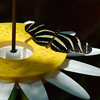 Butterfly on Butterfly Feeder