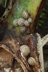 Bermuda / Bermude: snails on a banana plant / escargots sur un bananier