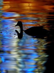 """Duck in the colored reflexions of chinese lanterns. Picture at the """"Jardin botanique"""" of Montréal / Canard dans les reflexions colorees des lanternes chinoises au Jardin botanique de Montreal."""