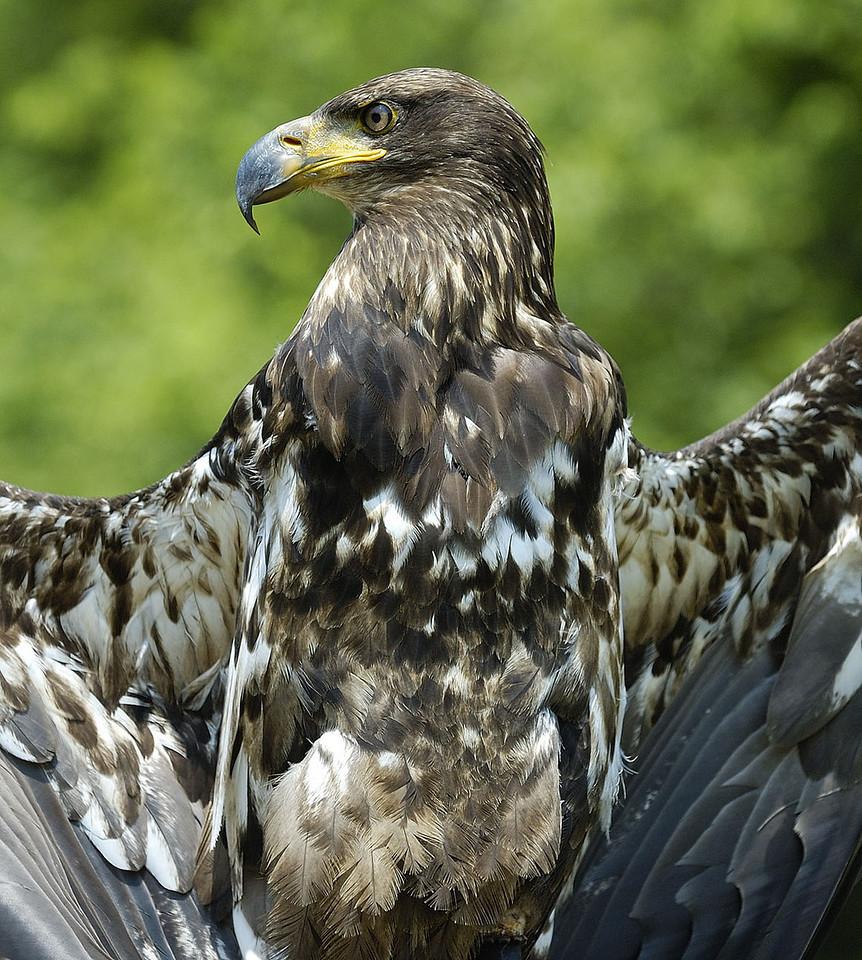 Young eagle / Aigle immature