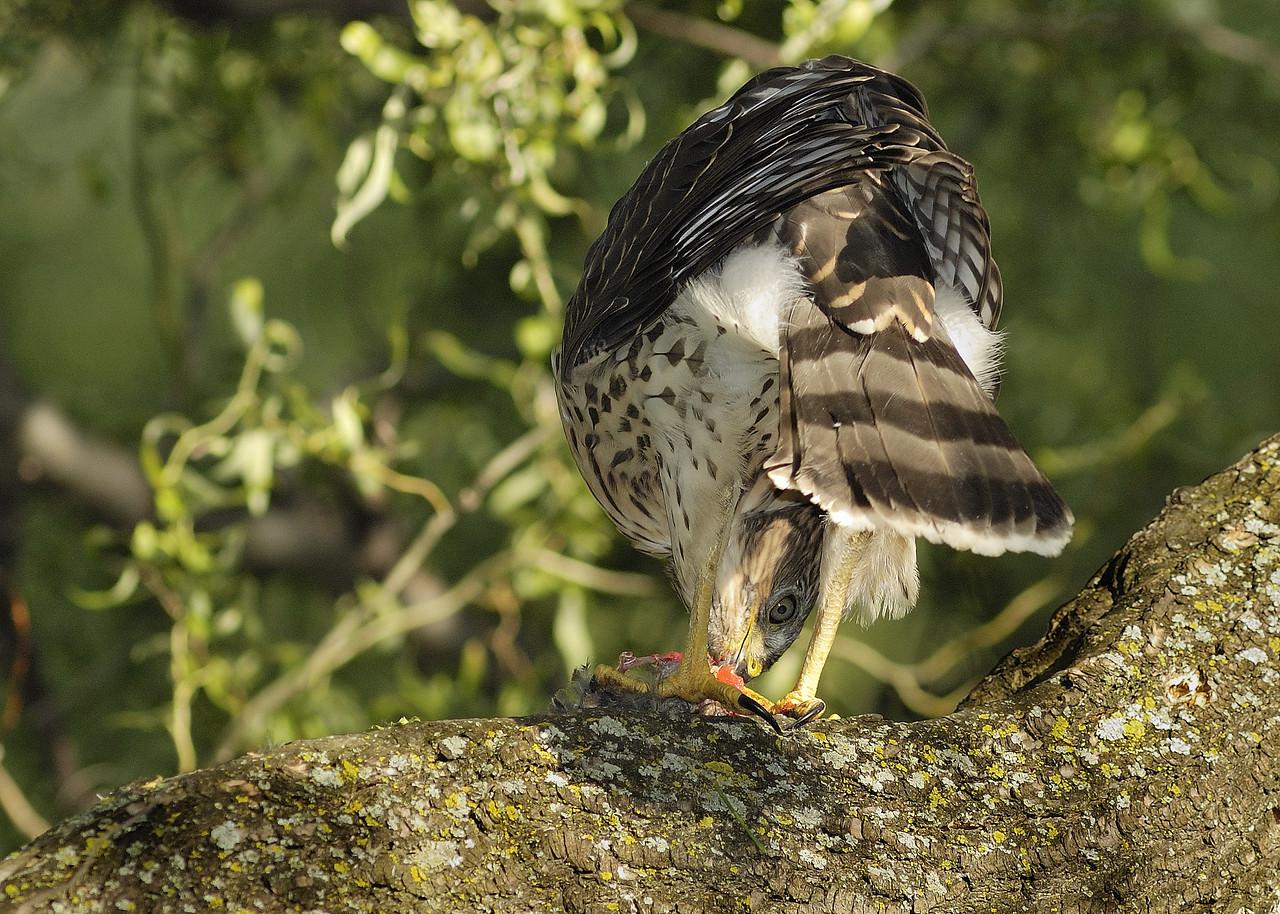 Hawk feeding