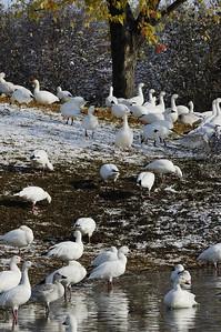 """Oie des neiges au réservoire Beaudet de Victoriaville / Snow Goose in autumn at """"Résevoir Beaudet"""", Victoriaville, Québec"""