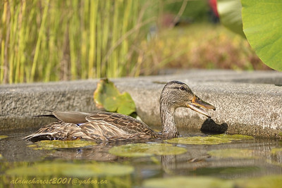Mallard in the pond