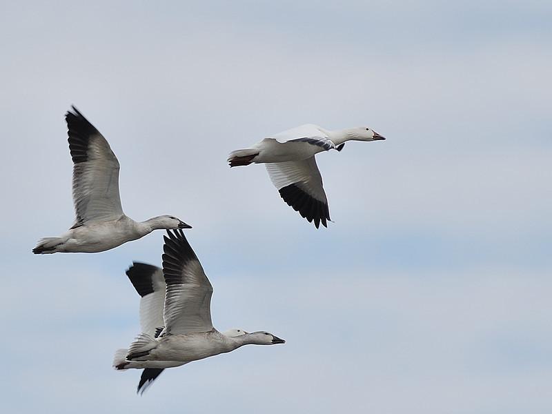 Oie des neiges en vol au réservoire Beaudet de Victoriaville, Qc, Canada / Snow Goose flying in Victoriaville, Qc, Canada