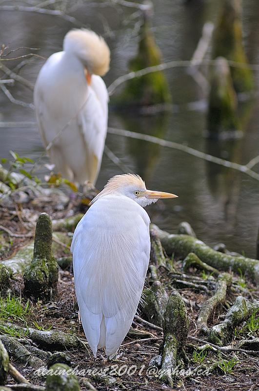Cattle egret in spring