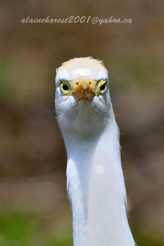 Cattle egret  portrait