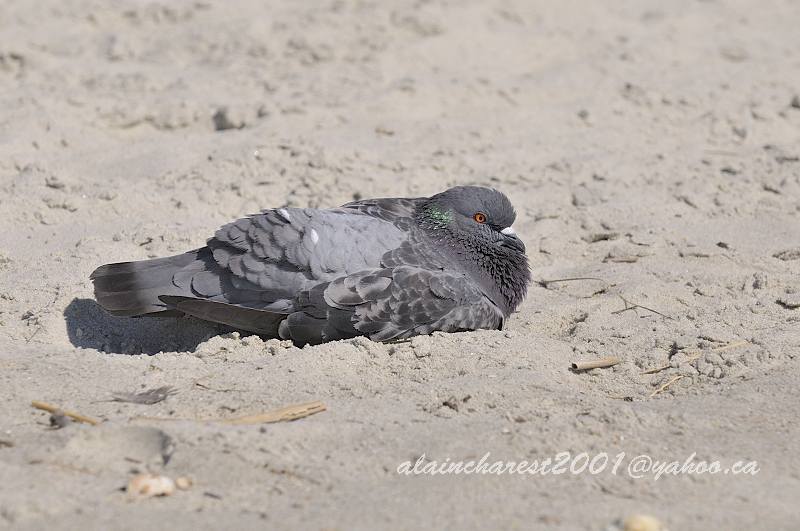Rock dove in the sand