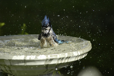 Blue Jay bathing in my yard / Geai beu se baignant dans ma cour