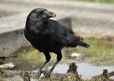 Corneille d'amérique dépecant sa capture / American crow eating a prey